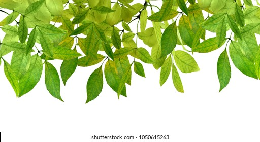 Green Leaves border . Green leaves isolated on white background without shadow. Spring. Summer.