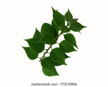 Green leaves of bougainvillea isolated on white background