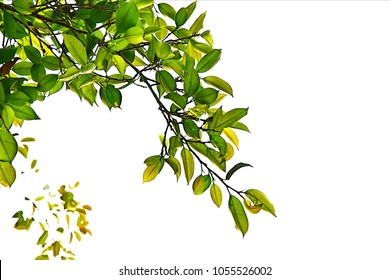 Green leaves and branch in nature forest with plant birch background for abstract texture environment and love earth concept for design and decoration, isolated on white.