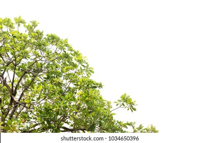 Green leaves and branch on white background, Isolated