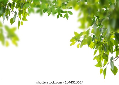 Green leaves and branches isolated on white