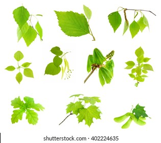 Green leaves and branches of trees collection set isolated on white background (birch, poplar, linden, maple, chestnut, oak).