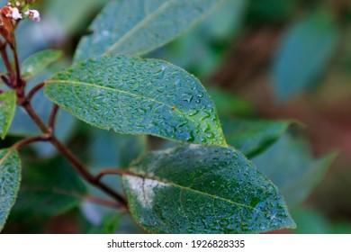 Hojas verdes de arbusto con rocío en la parte superior