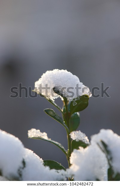green leaves of a bush in the snow