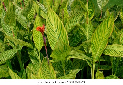 Green leaves of Canna indica.