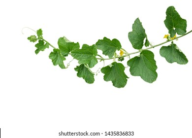 Green leaves of Cantaloupe (Muskmelon) with yellow flowers and tendrils, pumpkin leaf-like hairy vine plant isolated on white background with clipping path.