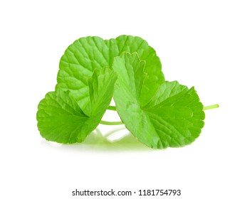 green leaves of centella asiatica, asiatic pennywort,(centella asiatica (linn.) urban.) tropical herb isolated on white background
