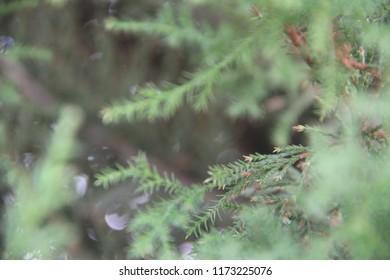 Green Leaves Christmas Tree Goldcrest