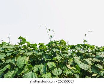 Green leaves climber, pea plant over white background