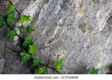 Green leaves climbing on rock in garden