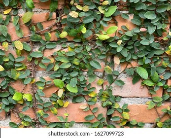 Green leaves climbing on the wall