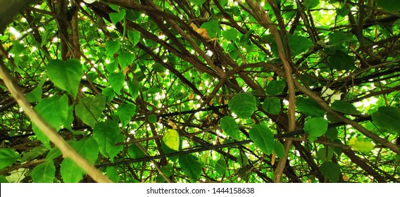 Green Leaves cluster tree line branches