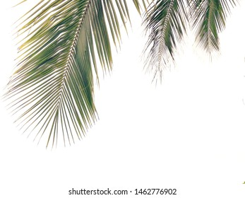 Green leaves of coconut palm tree isolated on white background, coconut palm fronds