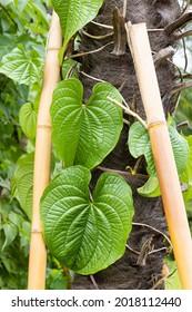 Feuilles vertes recouvrant un tronc de palmier en bambou.