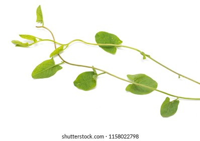 green leaves of a creeper on a white background
