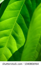 Green leaves in detail, background nature texture with copy space, abstract background, macro