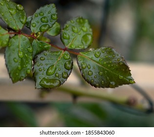 green leaves with dew drops - Shutterstock ID 1855843060
