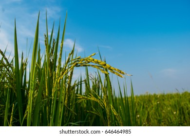 Green leaves and ear of rice under blue sky