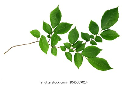 Green leaves of elm-tree isolated on white