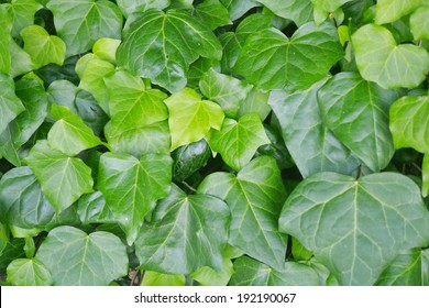Green leaves of English ivy