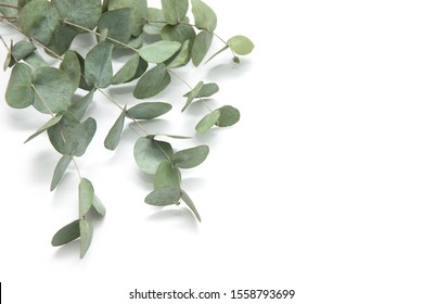 green leaves eucalyptus branches isolated 260nw 1558793699
