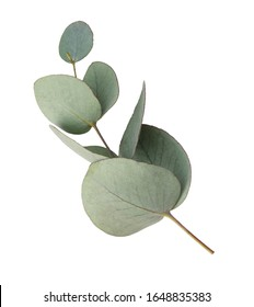 Green leaves eucalyptus isolated on white background.