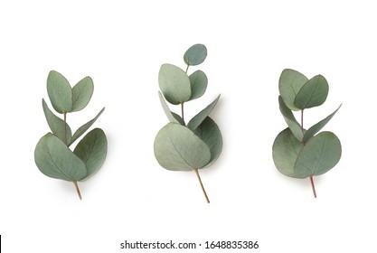 Grüne Blätter Eukalyptus einzeln auf weißem Hintergrund.