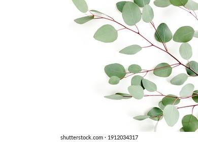 Green leaves eucalyptus isolated on white background.