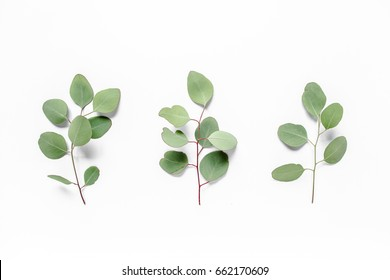green leaves eucalyptus populus on white background. flat lay, top view