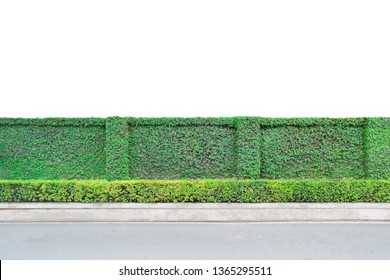 Green leaves fence wall, ivy climb on fence wall,  isolated on white background, eco friendly green hedge