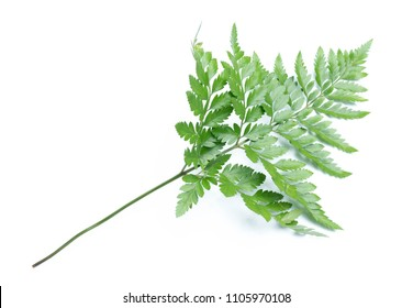 green leaves of fern isolated on white background