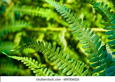 Green leaves of fern plant in close up; Popular ornamental garden plant; Lush green plant with pinnate leaves; Vascular plant - Shutterstock ID 689306026