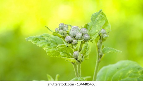 The green leaves and flowers of the lesser burdock. Arctium minus commonly known as lesser burdock burweed louse-bur common burdock button-bur cuckoo-button or wild rhubarb is a biennial plant.