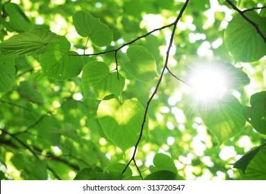 Green leaves in the forest with sun flare
