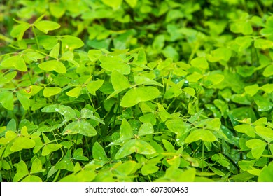 Green leaves in forest, Thailand.