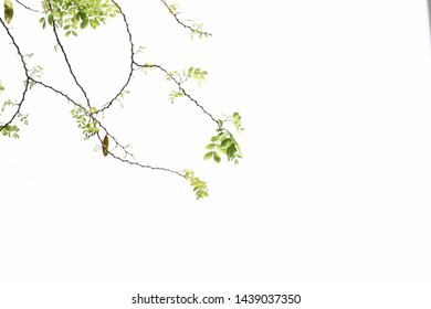 Green leaves fresh color on top tree  isolated background