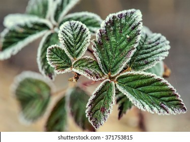 green leaves with frost in closeup shop