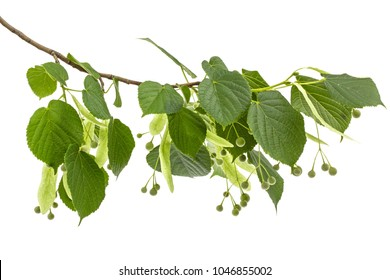 Green leaves and fruits of linden, isolated on white background