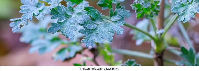 Green leaves in garden, banner. Artemisia absinthium leaves in garden, close up. Green plant in garden, close up. Artemisia absinthium ( absinthe, absinthium, absinthe wormwood, wormwood ) plant