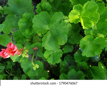 green leaves of geranium and pink duds