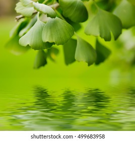 Green leaves of Gingko Biloba - healing plant, nature sunny background with water reflection