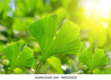 Green leaves of Ginkgo Biloba.
