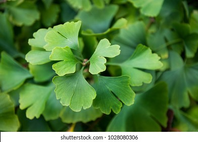 Green leaves of Ginkgo Biloba in Autumn