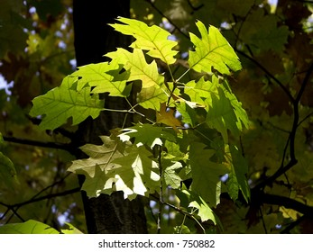 Green leaves glowing in the sun light