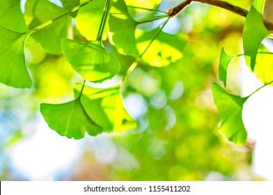 Grüne Blätter in goldener Sonne. Natürlicher unscharfer Hintergrund. Gingko Biloba Blätter in der Natur mit Sonnenschein
