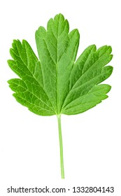 Green leaves of gooseberry, isolated on white background.File contains clipping path.