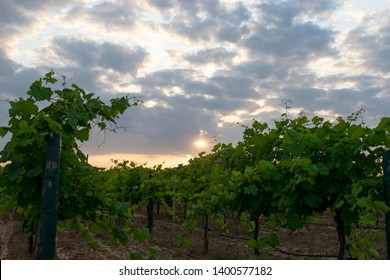 Green leaves of Grapevines growing on the posts and lined up in rows in a vineyard in Grapevine, Texas as the sun sets in the background casting orange and yellow hues in the gray, cloudy skies.