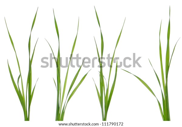 Green leaves of grass isolated on a white background.