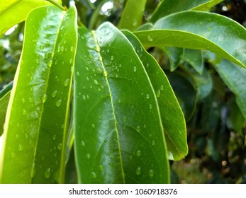Green leaves of graviola after the rain