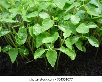 The green leaves grow up from black soil.